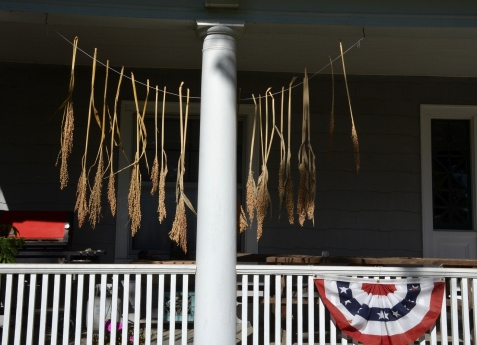 Broom corn drying